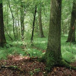 Eiken-berkenbos met vooral pijpenstrootje in de kruidlaag in bosreservaat Sevendonk (Turnhout)
