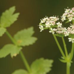 Kruipend moerasscherm (Apium repens)