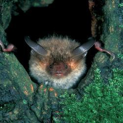 Bechsteinsvleermuis (Myotis bechsteini)