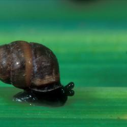 Zeggenkorfslak (Vertigo moulinsiana)