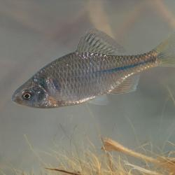 Bittervoorn (Rhodeus sericeus amarus)