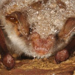Myotis myotis Vale vleermuis