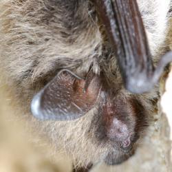 Myotis brandtii Brandts vleermuis