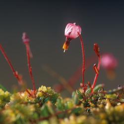 Kleine veenbes, een zeldzaam kleinood, groeit op lichtrijke plekken tussen het veenmos.