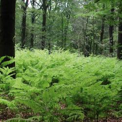 Op veel plaatsen kan Adelaarsvaren de ondergroei in dit bostype domineren (Vorte Bossen, Ruiselede).