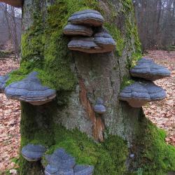 Dood hout brengt leven in het bos: Echte tonderzwam op oude Beuk.