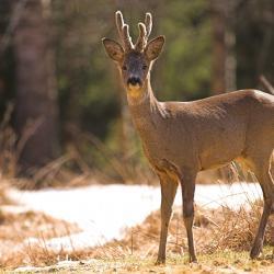 Een grote Reeenpopulatie kan natuurlijke verjonging in bossen bemoeilijken