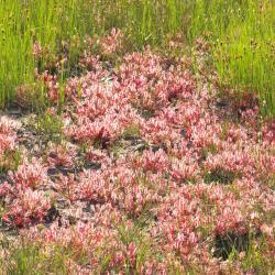 Pioniervegetatie van Kleine zonnedauw en Bruine snavelbies in voedselarme natte heide (Buitengoor te Mol).