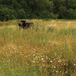 beweiding glanshavergrasland