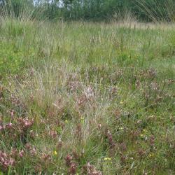 Heischraalgrasland met Heidekartelblad en Tormentil