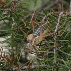 Zadelsprinkhaan