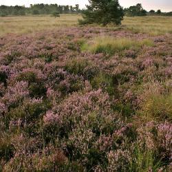 """De """"purperen hei"""" dankt zijn faam aan de uitbundige bloei van Struikhei (Kalmthoutse Heide)."""
