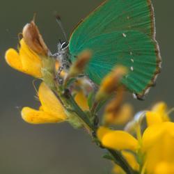 Het Groentje is een kleine dagvlinder, waarvan de rupsen voornamelijk op Gewone dophei leven.