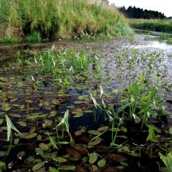 Traag stromende laaglandbeek met Pijlkruid en Drijvend fonteinkruid (middenloop Zwarte Beek).