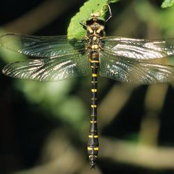 Gewone bronlibel