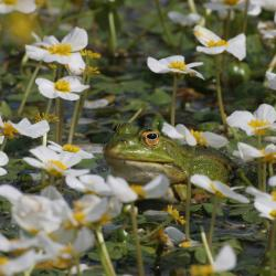Groene kikker tussen Grote waterranonkel
