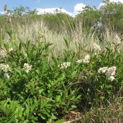 Wilde liguster is een typische plant van duinstruwelen en open duinbossen.