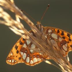 Op Duinviooltje leven de rupsen van de Kleine parelmoervlinder.