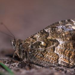 In tegenstelling tot wat de naam laat vermoeden komt de Heivlinder plaatselijk ook talrijk voor in de zeereepduinen.