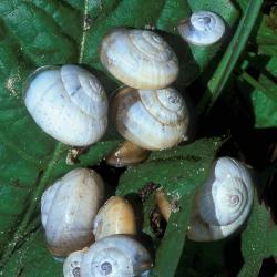 Zandslakken houden het gezellig in het zeereepduin.