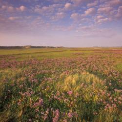 De bloeiende schorre van het Zwin (Knokke-Heist).