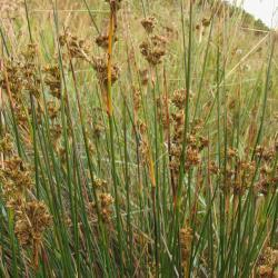 Zeerus is een forse biesachtige plant van de zout-zoet overgang.