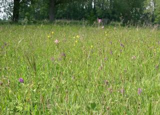 Bloemenrijk schraal grasland in natuurreservaat Honegem te Aalst