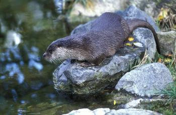 Lutra lutra Otter