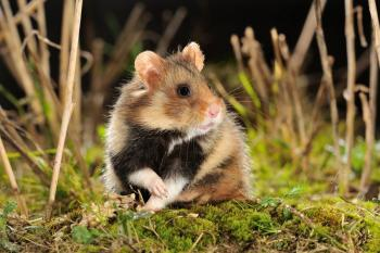 Cricetus cricetus Hamster