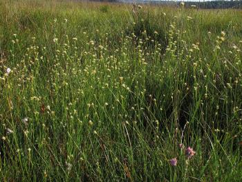 Vegetatie van Witte snavelbies, een kwetsbare soort in Vlaanderen.
