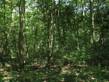 Abelen-Iepenbos in de duinbossen van De Haan