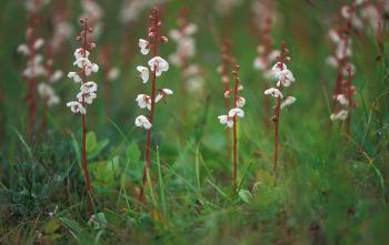 Rond wintergroen profiteert van het zwak zure bladstrooisel van Kruipwilg.